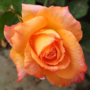 Frohsinn® - orange - hybrid Tea