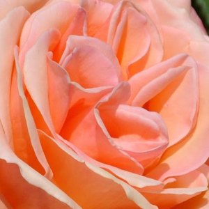 Roses Online - Frohsinn® - hybrid Tea - orange - discrete fragrance - Mathias Tantau, Jr. - Unique, soft colour, cup shaped flowers blooming from summer to late autumn.