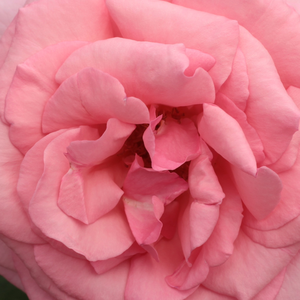 Buy Roses Online - Pink - hybrid Tea - moderately intensive fragrance - Kanizsa - Márk Gergely - Packed flower, 4.7'-5.5' diameter, vivid coloured, pink. Scented. Blooms from june to autumn.