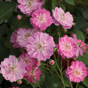 Pourple-pink with withe center - bed and borders rose - polyantha