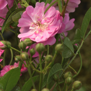 It is a spreading shrub, so it can be used in rose beds or as a solitaire.