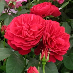 Flower-shaped flowers develops from its scarlet burgeons, these fragrances are luscious and fresh like a traditional roses.