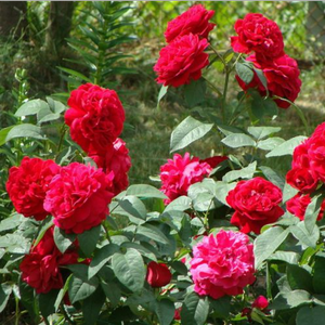 Dark red - english rose