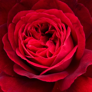 Rose Shopping Online - Red - english rose - intensive fragrance - Leonard Dudley Braithwaite - David Austin - Flower-shaped flowers develops from its scarlet burgeons, these fragrances are luscious and fresh like a traditional roses.