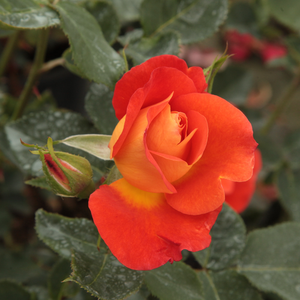 Rosa Lydia® - orange - buissons