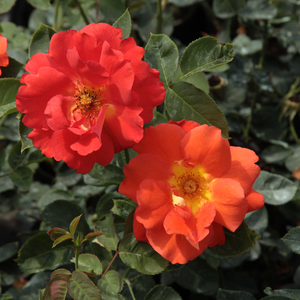 Red-orange - park rose