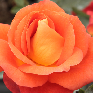 Buy Roses Online - Orange - park rose - intensive fragrance -  Lydia® - Reimer Kordes - Its red-orange coloured flowers blooming in small clusters.