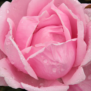 Buy Roses Online - Pink - hybrid Tea - discrete fragrance -  Madame Caroline Testout - Joseph Pernet-Ducher - Robust hybrid tea from the late 1800.