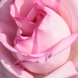 Buy Roses Online - Pink - hybrid Tea - intensive fragrance - Madame Maurice de Luze - Joseph Pernet-Ducher - Their carmine-pink, globular flowers are nice and in flower beds it can be associated with perennials.