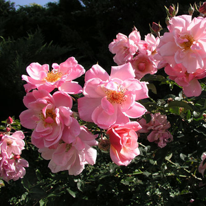 Salmon pink - bed and borders rose - floribunda
