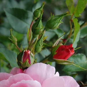 Märchenland® - pink - bed and borders rose - floribunda