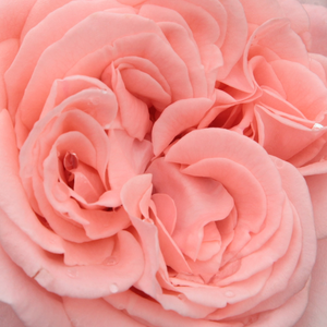 Rose Shopping Online - Pink - hybrid Tea - intensive fragrance - Marcsika - Márk Gergely - Pale pink flowers are full doubled and globular.