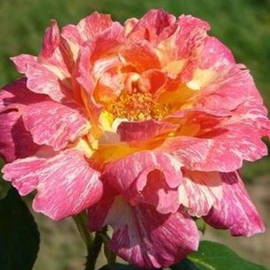 Salamon pink with yellow stripe - hybrid Tea