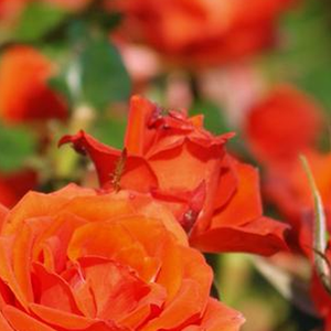 Rosa Mercedes® - orange - rosiers floribunda