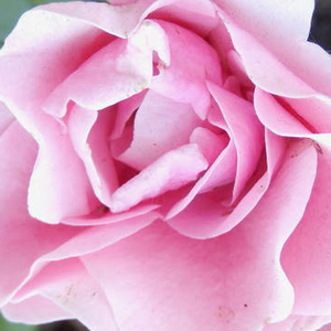 Buy Roses Online - Pink - bed and borders rose - floribunda - no fragrance - Nagyhagymás - Márk Gergely - Prolific blooming from the beginning of June till late autumn. It is a good groundcover.