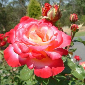 Neue Revue® - yellow - red - hybrid Tea
