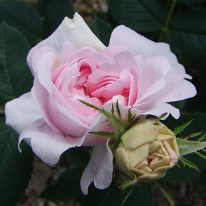 Rosa New Maiden Blush - roze - albaroos