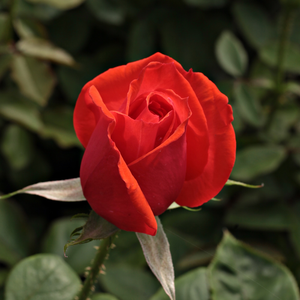 Ondella - orange - hybrid Tea
