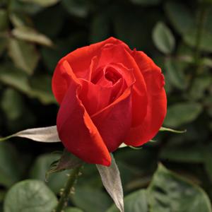 rosa ondella teehybriden edelrosen orange mittel stark duftend rosen bestellen roses. Black Bedroom Furniture Sets. Home Design Ideas