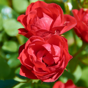 Orange or orange-red - hybrid Tea