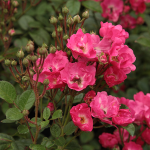 Orléans Rose - pink - bed and borders rose - polyantha
