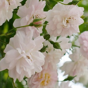 Rose Shopping Online - Pink - White - rambler, rose - intensive fragrance - Paul's Himalayan Musk Rambler - George Paul, Jr. - If you plant it to the right place it will guarantee powerful growth. It is a fast growing and beautiful rambler.