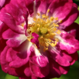 Order Roses Online - Perennial Blue - rambler, rose - purple - white - discrete fragrance - Bernard F. Mehring -  Powerful, robust roses with medium green foliage.