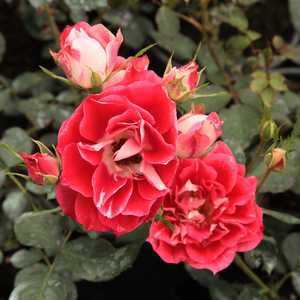 Pale pink petal winds, red or dark pink petal center with white center - bed and borders rose - floribunda