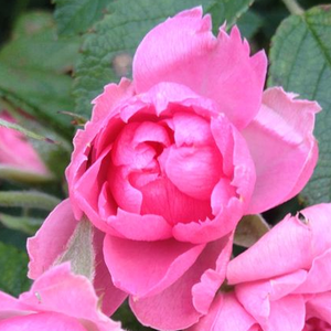 Perfect for hedge, planting in mixed beds or for cut rose. Tolarates half-shadow and strong cuts.