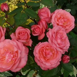 Silvery pink with deep pink winds - hybrid Tea