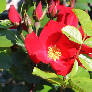 Rosa Robusta® - rouge - buissons