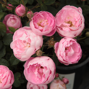 Light pink - park rose