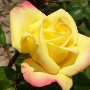 Rose Aimée - yellow - pink - hybrid Tea