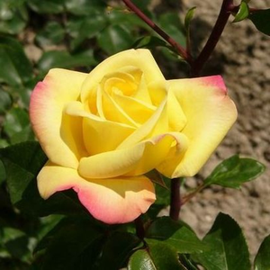 Golden yellow with pink wind - hybrid Tea