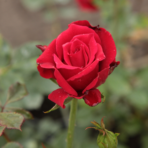 Royal Velvet - red - hybrid Tea