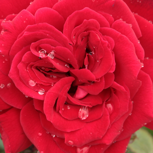 Roses Online Delivery - Red - hybrid Tea - discrete fragrance -  Royal Velvet - Francis Meilland - Dark red teahibrid rose with higher habit and weaker shoots.