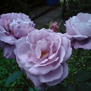 lila teehybriden edelrosen diskret duftend rosa. Black Bedroom Furniture Sets. Home Design Ideas