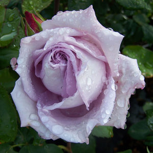 Waltz Time - purple - hybrid Tea