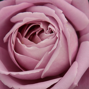 Order Roses Online - Waltz Time - hybrid Tea - purple - discrete fragrance - Georges Delbard, Andre Chabert - Its fine, pale lilac flowers fit well to white, pale pink, mauve color, and yellow.