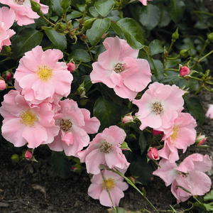 Light pink - ground cover rose
