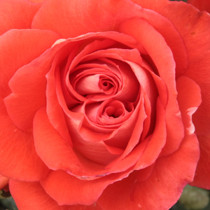 Rose Shopping Online - Red - bed and borders rose - floribunda - moderately intensive fragrance - Scherzo - Francesco Giacomo Paolino - Light red coloured floribunda.