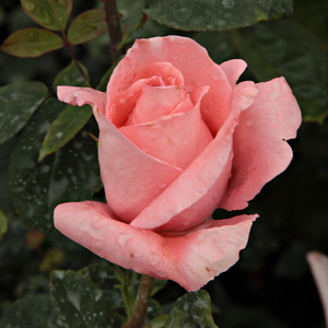 Its salmonpink flowers have light tones. It is like they made of sugar. Only one flower blooms in one time. Shining, middle green foliage. Light fragrance, perfect cut rose.
