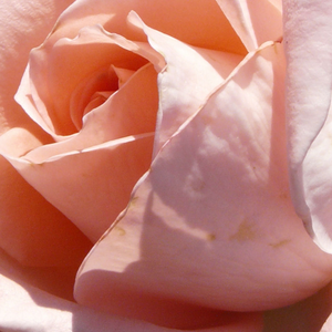 Buy Roses Online - Pink - hybrid Tea - moderately intensive fragrance - Schöne Berlinerin® - Mathias Tantau, Jr. - Its salmonpink flowers have light tones. It is like they made of sugar. Only one flower blooms in one time. Shining, middle green foliage. Light fragrance, perfect cut rose.