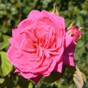 Deep pink - bed and borders rose - grandiflora - floribunda