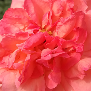 Roses Online Delivery - hybrid Tea - pink - Succes Fou - moderately intensive fragrance - Georges Delbard, Andre Chabert - Cherry blossom, fragrant rose for cutting.