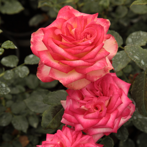 Yellow, pink-salmon edge - hybrid Tea