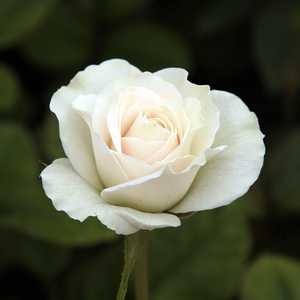 Szent Margit - white - bed and borders rose - floribunda