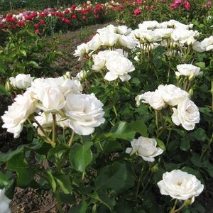 White or light pink - bed and borders rose - floribunda