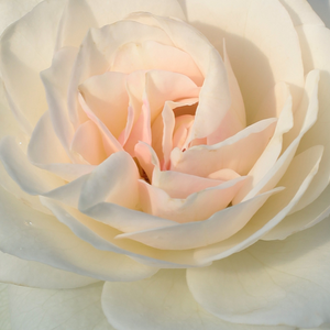 Buy Roses Online - White - bed and borders rose - floribunda - discrete fragrance - Szent Margit - Márk Gergely - The beginning of flowering starts in the first half of June and in the autumn until it is full and abundant in bloom. It is  drought-tolerant.