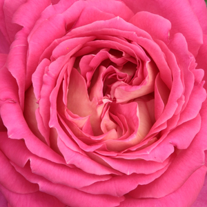 Rose Shop Online - hybrid Tea - pink - white - Tanger - discrete fragrance - Pedro (Pere) Dot - It looks good in mixed beds, but it can also be used as a cut flower.